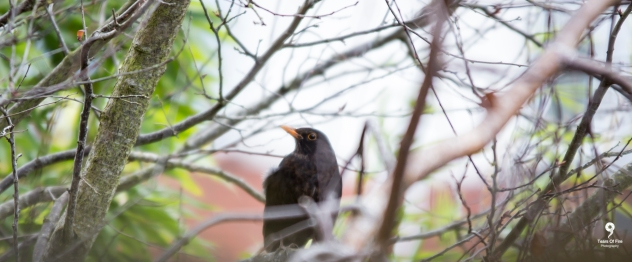 Blackbird - 10-02-2018