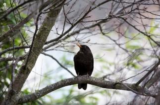 Blackbird-10-02-2018