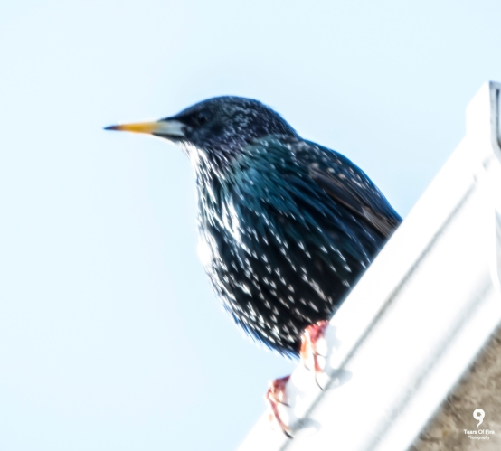 Starling - 11-02-2018