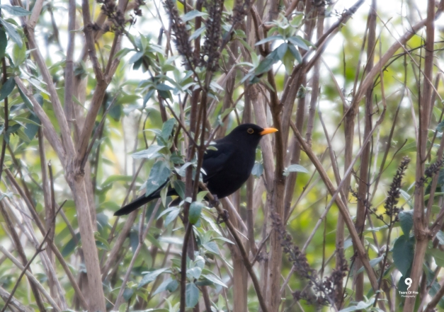 Blackbird - 17-02-2018