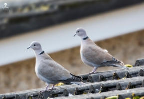 Pair of Collared Doves - 17-02-2018