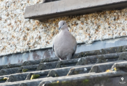 Collared Dove - 17-02-2018
