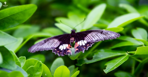 Great Mormon - Tropical World Butterfly Garden