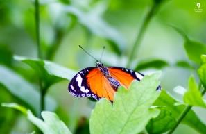 Monarch - Tropical World Butterfly Garden