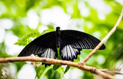 Common Mormon - Tropical World Butterfly Garden